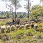 Wandelen tussen de schapen op de Veluwe