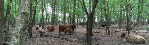 Schotse Hooglanders bij De Boshut